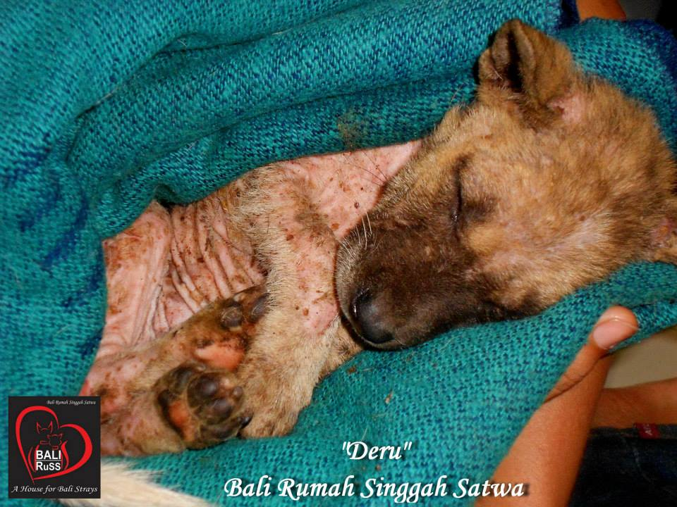 Bali Dog Rescue - Liitle Deru