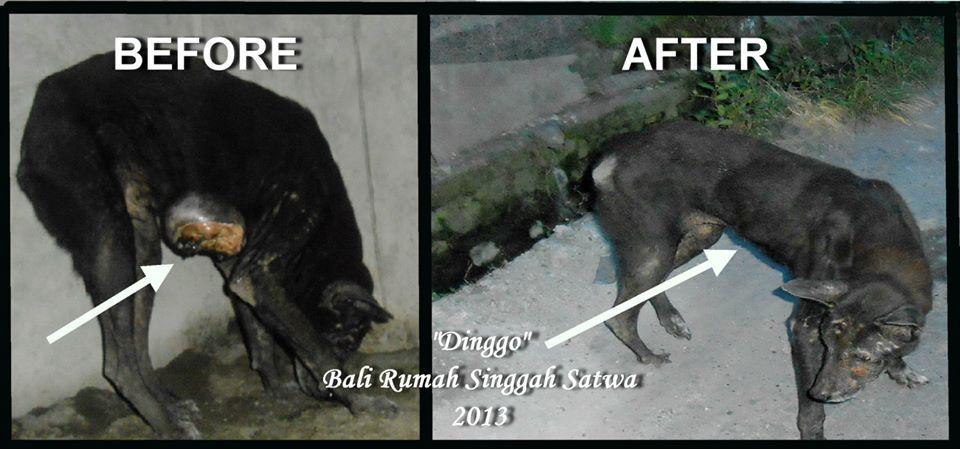Bali Dog Rescue - Dinggo