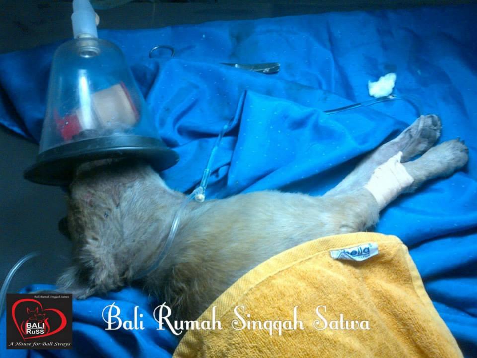 Bali Dog Rescue - Mimi